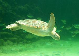 Green_turtle_swimming